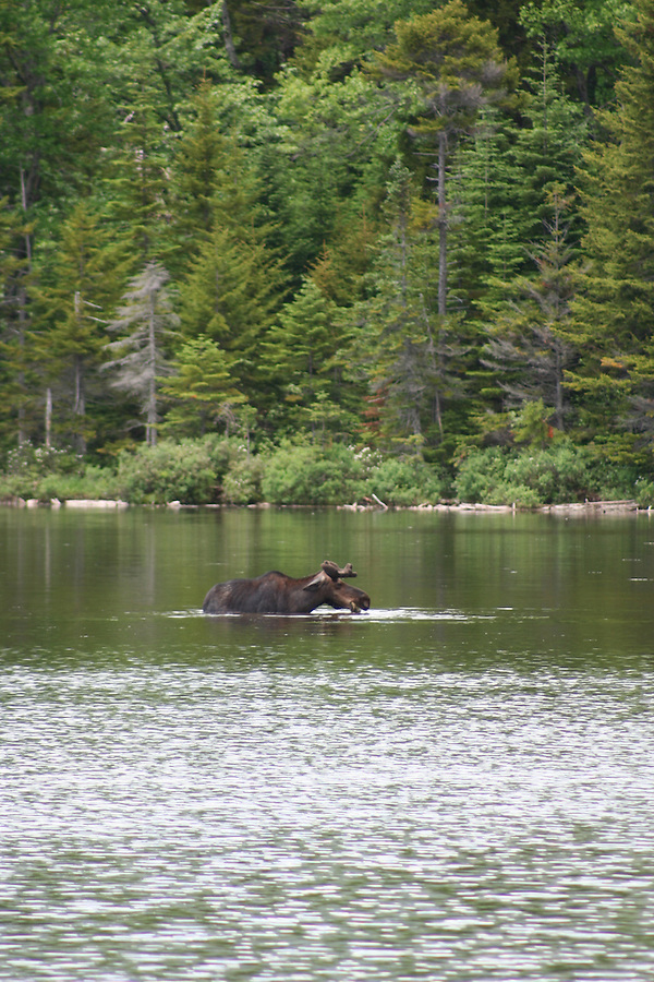 Baxter State Park moose at Sandy Stream Pond