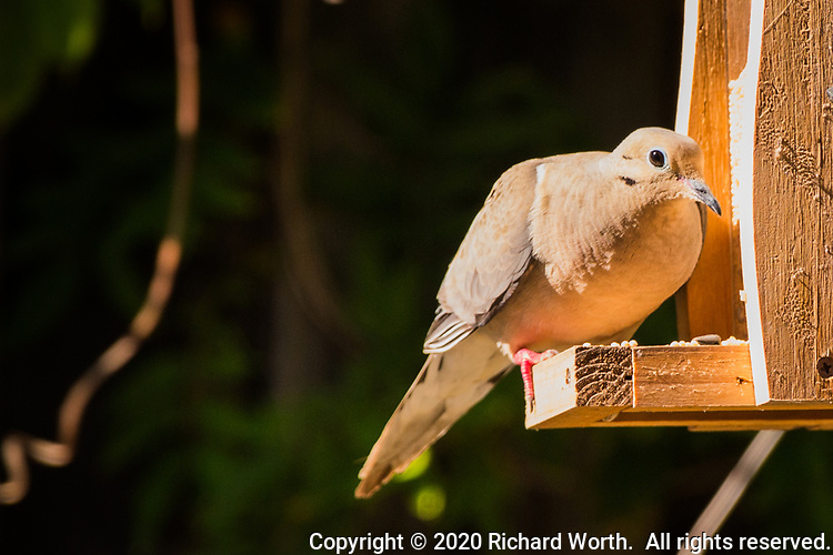 A Mourning dove visits a backyard birdfeeder late on a summer afternoon.