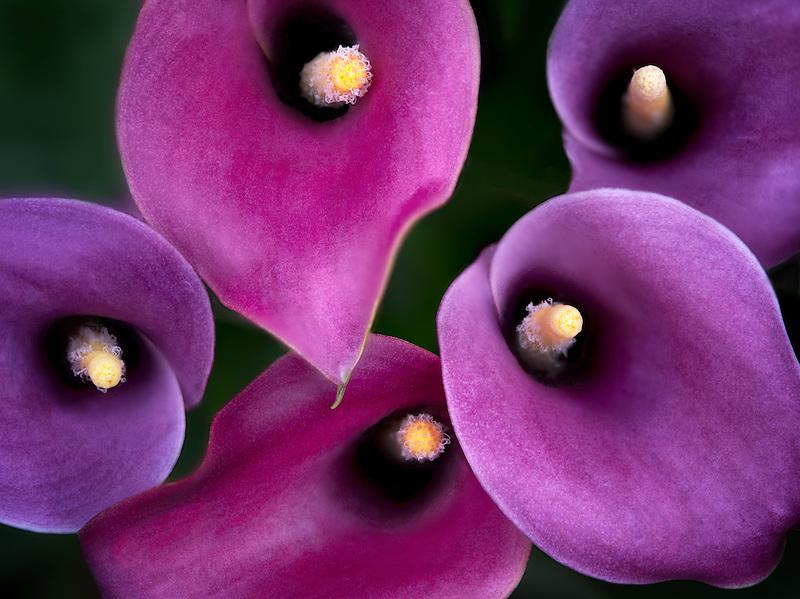 Close up of Zantedeshia Calla Lily.