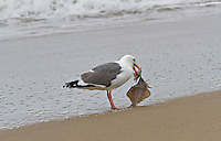 Fine art landscape nature closeup of gull holding dangling flounder by its beach, standing on sand of Limantour Beach, Point Reyes National Seashore, with reflections on sand of tide receding.