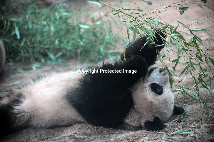 Panda Cui Cui that was brought from the damaged Wolong panda reserve to Beijing  in Beijing Zoo, 20th August 2008.   Cui cui spent hours  terrified in a tree and had to be rescued by several People at the panda reserve. Eight tramatised one and two year-old  pandas, including Cui Cui were brought from Wolong to Beijing for recuperation and have been placed in aan Olympic Panda exhibition at Beijing zoo and are recieving unprecadented number of visitors.  The pandas were so scaerd during the quake and refused to come down from the trees. The Wolong keepers that accompanied the pandas to Beijing cuddle and play with pandas to help them recover from their horrific experience. <br />