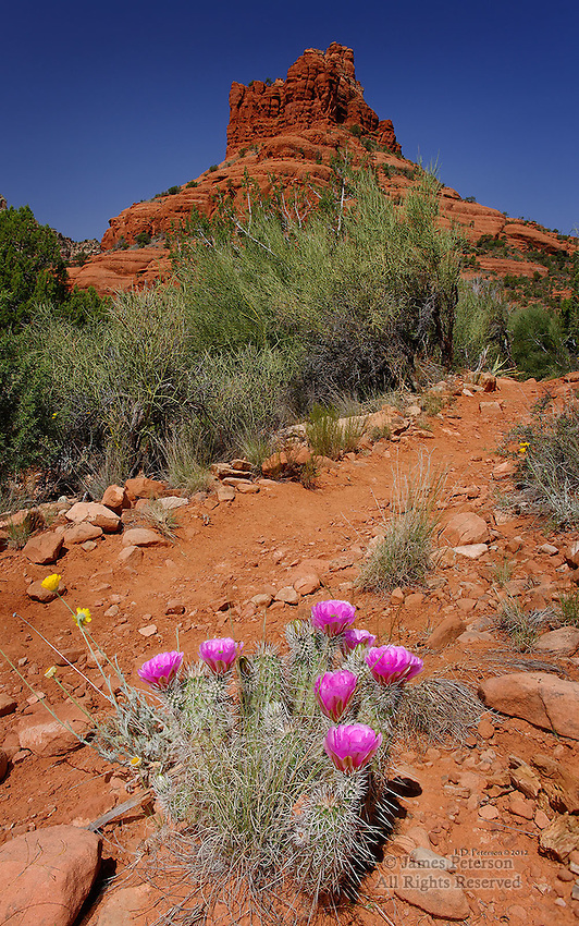 Hedgehog Cactus near Bell Rock