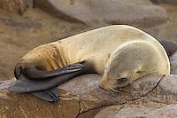 Full body portrait of a Seal sleeping on a rock