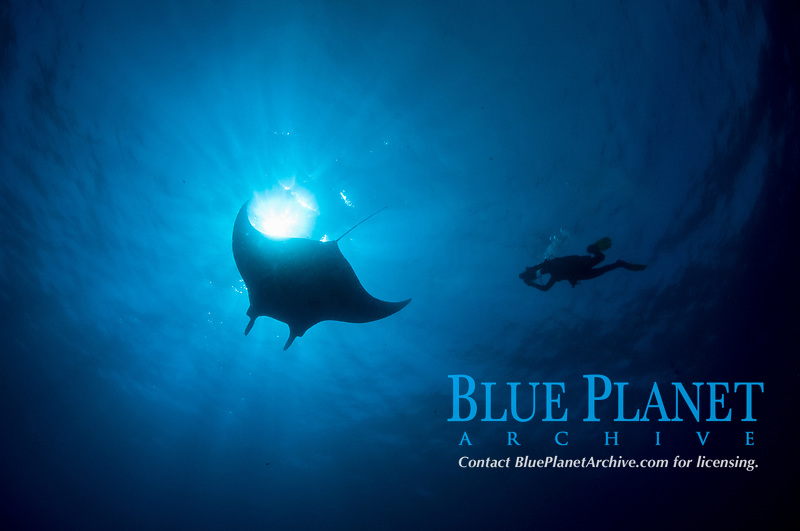 giant oceanic manta ray, Mobula birostris, formerly Manta birostris, and photographer in the Revillagigedo Islands, Pacific Ocean