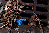 Brooklyn, New York - March 22, 2020<br /> Within a 3-block radius of New York-Presbyterian Brooklyn Methodist Hospital in Park Slope, Brooklyn, a center for New York City CoVid-19 patients, used gloves and masks are strewn on residential sidewalks and streets. Nearly 50 items where photographed in a few minutes.<br /> <br /> Full set of images: https://anthonysuau.photoshelter.com/gal…/G0000LtnkUFzMQMw/…<br /> <br /> It appears, the majority of this CoVid-19 debris is the result of hospital visitors, just before getting in their car, depositing their used masks and gloves on the sidewalk and street.