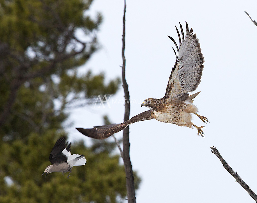 A Clark's nutcracker drives off a Red-tailed hawk.