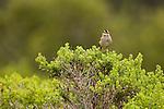 White-crowned Sparrow (Zonotrichia leucophrys) calling, Lobos Dunes, Presidio, San Francisco, Bay Area, California