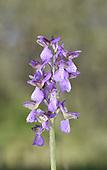 Green-winged Orchid - Anacamptis morio<br /> Gargano Peninsula, Italy