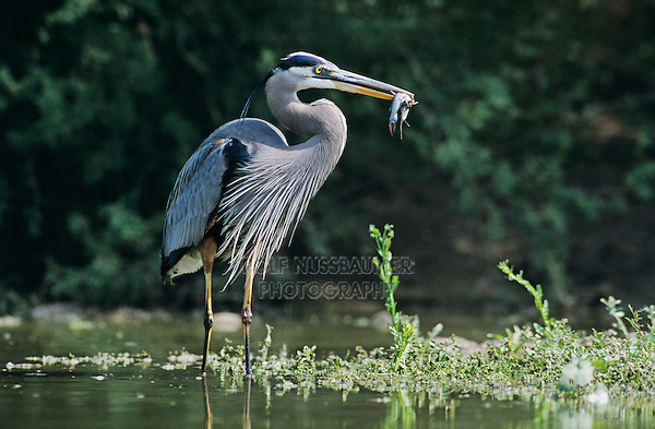Great Blue Heron, Ardea herodias,adult in pond with catfish, Starr County, Rio Grande Valley, Texas, USA