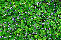 violets in Killaly Meadows<br /> London<br /> Ontario<br /> Canada