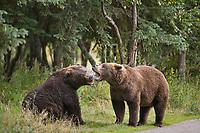 Adult Brown bears, Katmai National Park, southwest, Alaska.