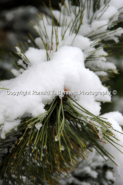 Pine tree branch snow Colorado, pine tree branch, Garden of The Gods Colorado Springs Colorado, Colorado, US State of Colorado, Rocky Mountain region,  , Rocky Mountain region, Coloradans, US State of Colorado, State of Colorado, Colorado, Rocky Mountain region, Southwestern Region of USA, Denver, Coloradan, Colorado, CO, CR, Colarado, Colo, Col, CAL, CLD, Photography history, Stock Photography, Fine Art Photography, Fine Art Photography by Ron Bennett, Fine Art, Fine Art photography, Art Photography, Copyright RonBennettPhotography.com ©