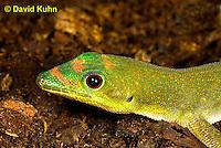 1001-0802  Gold Dust Day Gecko, Phelsuma laticauda © David Kuhn/Dwight Kuhn Photography.