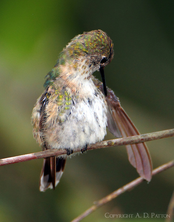 Adult female calliope hummingbird preening