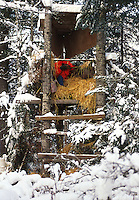 A deer hunter in orange safety hunting gear rests within a winter hunting blind.