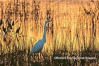 00688-02603 Great Egret (Ardea alba) at sunset Viera Wetlands Brevard County FL