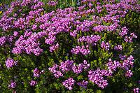 Pink Mountain Heather (Phyllodoce empetriformis).  Summer, Mount Rainier area, WA.