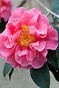 Camellia 'Francie L' (saluensis 'Apple Blossom' x reticulata 'Buddha'), glasshouse, mid March.