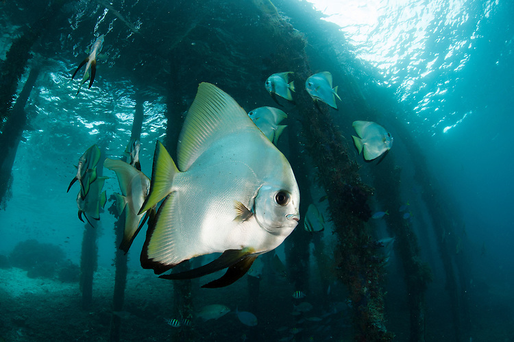 Golden spadefish (Platax boersii) gather under Arborek Jetty, Dampier Strait, Raja Ampat, Indonesia