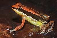 """Nome científico: Allobates crombiei<br /> .<br /> Imagem feita em 2008 durante estudo de diagnóstico da flora e da fauna na área de influencia do empreendimento """"Aproveitamento Hidroelétrico Belo Monte"""". Rio Xingu, Estado do Pará, Brasil."""