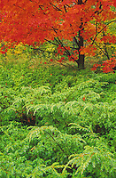Juniper bushes contrast against a Maple tree in brilliant autumn color of the grounds of the Clearing in Door County, Wisconsin