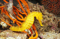 lv421. Common Seahorse (Hippocampus kuda). Thailand, tropical Indian Ocean..Photo Copyright © Brandon Cole. All rights reserved worldwide.  www.brandoncole.com..This photo is NOT free. It is NOT in the public domain. This photo is a Copyrighted Work, registered with the US Copyright Office. .Rights to reproduction of photograph granted only upon payment in full of agreed upon licensing fee. Any use of this photo prior to such payment is an infringement of copyright and punishable by fines up to  $150,000 USD...Brandon Cole.MARINE PHOTOGRAPHY.http://www.brandoncole.com.email: brandoncole@msn.com.4917 N. Boeing Rd..Spokane Valley, WA  99206  USA.tel: 509-535-3489