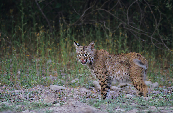 Bobcat, Felis rufus, adult with wildflowers, Starr County, Rio Grande Valley, Texas, USA, May 2002