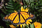 Monarch Butterfly ( Danaus plexippus)