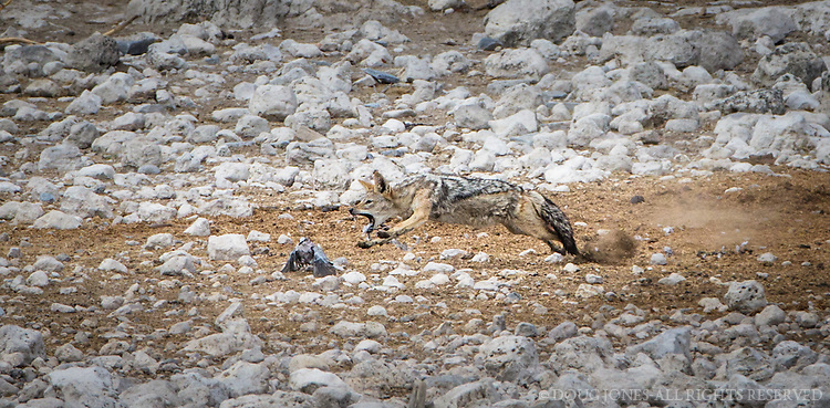 We watched this jackal snatch a bird at the edge of the waterhole in Okaukeujo, only to have it get fry and try to fly away.  It was only a brief escape.