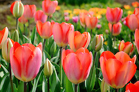 Gorgeous red and orange tulips from a central valley tulip farm
