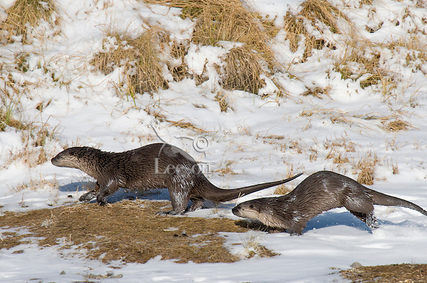 Northern River Otter (Lontra canadensis) running along river bank.  Winter.