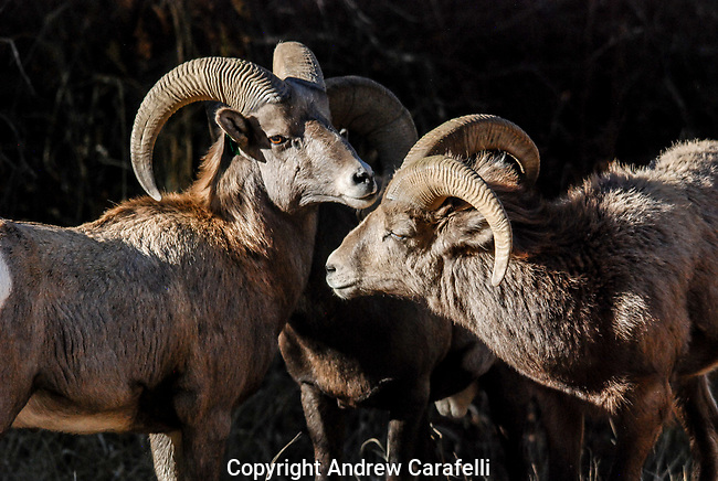 A group of Big Horn Sheep Rams hangs together in the morning sun, Waterton Canyon, Colorado.