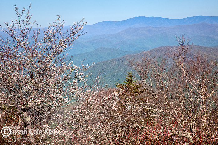 Serviceberry/Shad (Amelanchier arborea) in bloom at Waterrock Knob, Blue Ridge Parkway, NC, USA