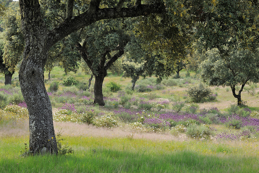 Dehesa forests with Holm oak (Quercus ilex)  and  French lavender (Lavandula stoechas) in Campanarios de Azába nature reserve, Salamanca Region, Castilla y León, Spain