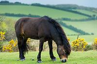 Male wild Exmoor pony, Equus caballus, grazing on moorland in Exmoor National Park, Somerset, United Kingdom