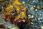 Barbfish Yellow Phase,Scorpaena brasiliensis