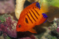Close up of Flame Angelfish (Centropyge loriculus),Pacific Ocean