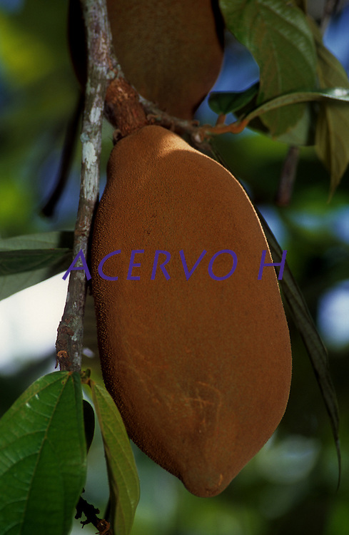 Pé de cupuaçú beira do rio Japurá. <br /> <br /> Cupuaçu (Theobroma grandiflorum)  é uma fruteira nativa da região amazônica e foi introduzida no sul da Bahia em 1930, na antiga Estação Experimental de Água Preta, no município de Uruçuca. Geralmente é procurado pelo sabor típico de seus frutos, em que há o aproveitamento da polpa e das sementes pelas indústrias alimentícias e de cosméticos, em virtude de suas propriedades sensoriais e químicas. O seu fruto mede de 12 a 15 cm de comprimento e tem de 10 a 12 cm de diâmetro, apresentando em média peso de 1 kg, sendo 30% de polpa e 35 sementes.<br /> <br /> Tefé, Amazonas,  Brasil<br /> Foto Paulo Santos/acervoh<br /> 27/11/2004
