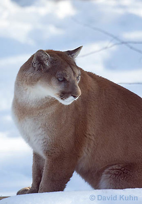 0218-1018  Mountain Lion (Cougar) in Snow, Puma concolor (syn. Felis concolor)  © David Kuhn/Dwight Kuhn Photography.