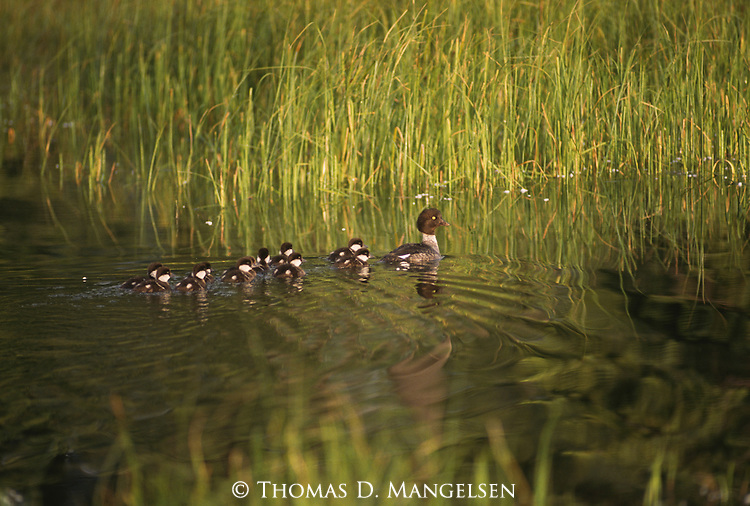 Common Goldeneye swimming with eleven ducklings