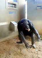 A chimpanzee leaves with it's can of juice. A chimpanzee inserts a ten yen coin into a drink vending machine. Chimpanzees in Tama Zoo in the western suberbs of Tokyo buy soft drinks from a vening machine. The zoo, which is seen as one of Japan's most inovative, has installed a vending machine. The Chimps are given a ten yen yen coind which they insert into a vending machine and are given a can of fruit or vegetable juice.  The chimps then put the embty can into the waste machine for recycling.