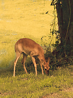 Whitetail deer doe feasting on fallen pears.
