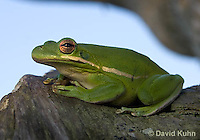 1218-1006  American Green Treefrog Sitting on Tree, Hyla cinerea  © David Kuhn/Dwight Kuhn Photography