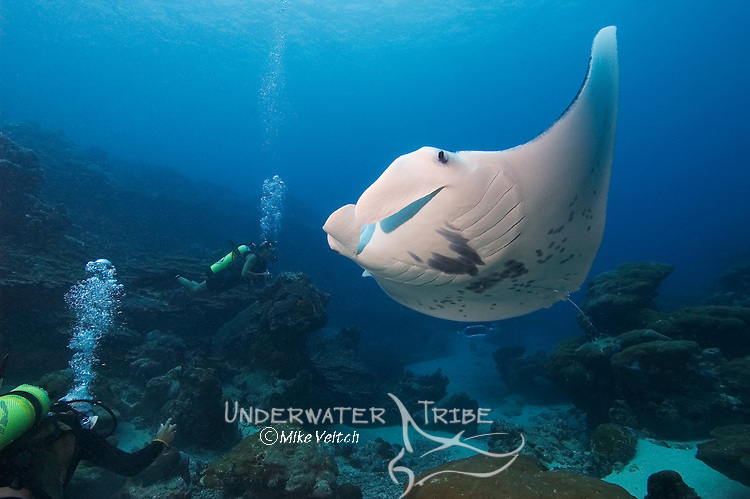 Divers encounter feeding Manta Rays, Manta birostris, at Goofnuw Channel, Valley of the Rays, Yap, Micronesia, Pacific Ocean (MR)