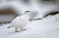 Ptarmigan Lagopus mutus female bird in winter plumage L 34-36cm. Hardy, mountain gamebird. Indifferent to observers but easily overlooked: unobtrusive and blends in well with surroundings. In flight, both sexes reveal white wings and black tail. Forms small flocks outside breeding season. Sexes are separable with care. Adult male in winter is white except for dark eye, lores and bill. In spring and summer, has mottled and marbled greyish buff upperparts, amount of white on back decreasing with time; belly and legs are white while striking red wattle fades by mid-summer. Adult female in winter is white except for black eye and bill. In spring and summer, has finely barred buffish grey upperparts; extent of white on back diminishes with time. Juvenile resembles uniformly brown female. Voice Utters a rattling kur-kurrrr call. Status Confined to Scottish Highlands, favouring rocky ground with lichens, mosses and other mountain vegetation.
