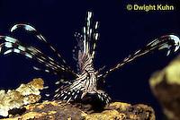 TP03-009z  Red Lionfish - Red Volitans or Turkeyfish - Pterois volitans