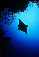 Eagle Ray Silhouette.Carval Rock.US Virgin Islands