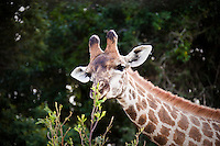 A giraffe at Seaview Lion Park, (Thursday 9th July 2009), Eastern Cape, South Africa ,   Photo: joliphotos.com