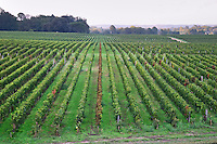 Vineyard. Chateau Smith Haut Lafitte, Pessac Leognan, Graves, Bordeaux, France