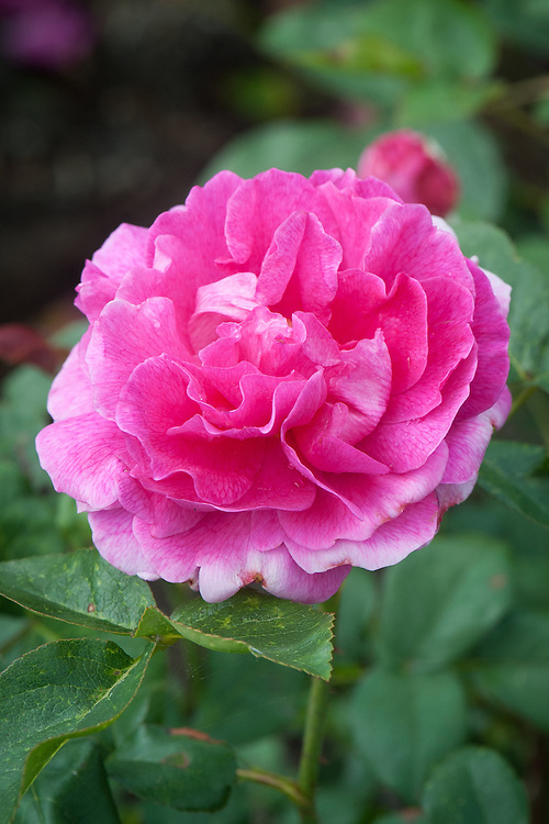 """Rosa Noble Antony ('Ausway'), late June. A highly scented, deep pink shrub rose that flowers repeatedly throughout the summer and into autumn. Introduced in 2001 by David Austin, and named after Mark Antony from Shakespeare's """"Julius Caesar""""."""